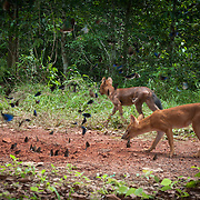 The endangered Asian Wild Dog or Dhole (Cuon alpinus) at Dong Phayayen - Khao Yai World Heritage Site, Thailand.