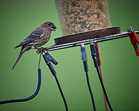 Female House Finch. Image taken with a Nikon D5 camera and 600 mm f/4 VR lens (ISO 1400, 600 mm, f/4, 1/1250 sec).