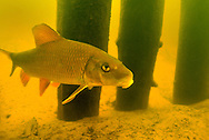 Silver Redhorse<br />
