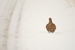 A Red Grouse in the Cairngorms wades through the snow  as Storm Doris hits the UK. 23rd Feb 2017 (c) Brian Anderson | Edinburgh Elite media