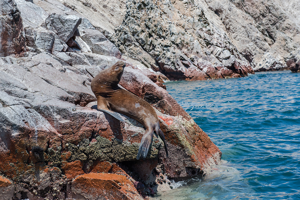 A Preening Sea Lion on the Rocks