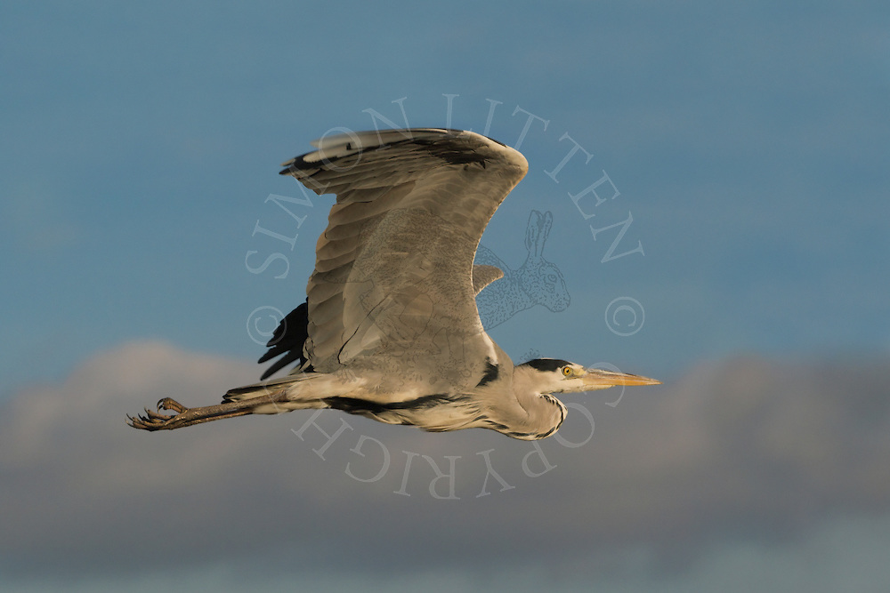 Grey Heron (Ardea cinerea) Adult in flight