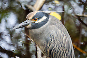 Striated heron (Butorides striata) also known as mangrove heron, little heron or green-backed heron, Photographed in the Peruvian Amazon