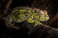 Chris's Chameleons