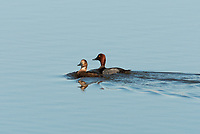 A pair of Redhead ducks swims in an open pond early in the month of May in northern Utah.