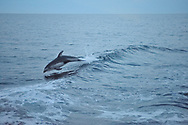 A Pacific white-sided dolphin plays in the bow wave of a small cruise ship in Hecate Straight near, Haida Gwaii, British Columbia.