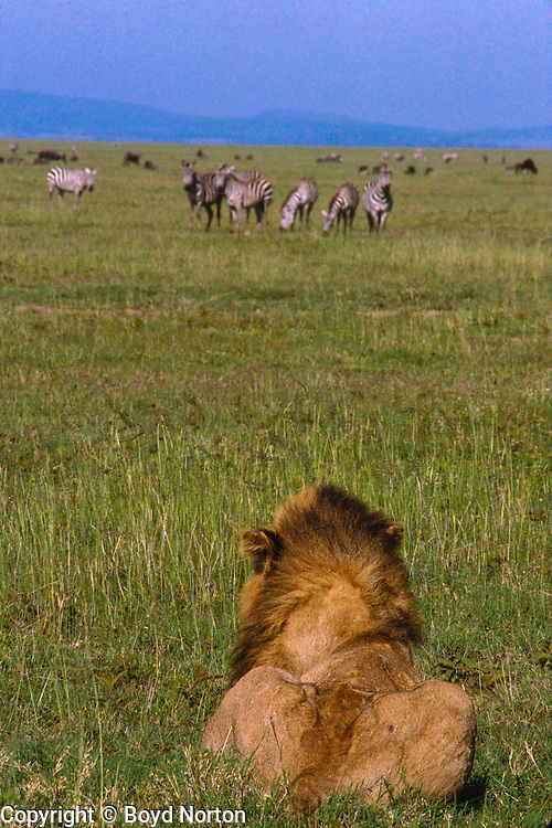 Male lion watching zebras watching him