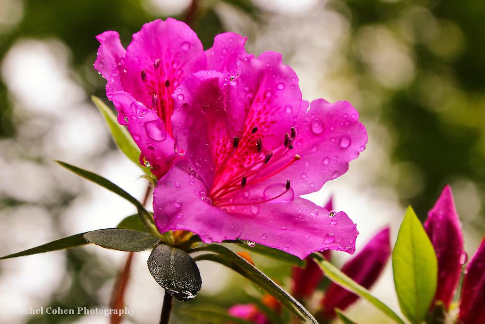 &quot;Azalea Rain&quot;<br /> <br /> A wonderful rain drenched Azalea in spring.<br /> <br /> Flowers by Rachel Cohen