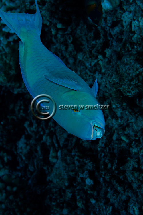 Bullethead Parrotfish, Chlorurus spilurus,  (Valenciennes, 1840), Lanai Hawaii