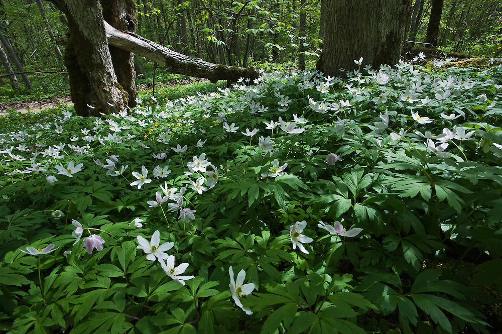 wood anemone (Anemone nemorosa), Matsalu Bay Nature Reserve, Estonia