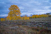 Fall Aspens<br />