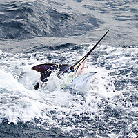 Blue Marlin's head breaks the surface offshore Luanda, Angola