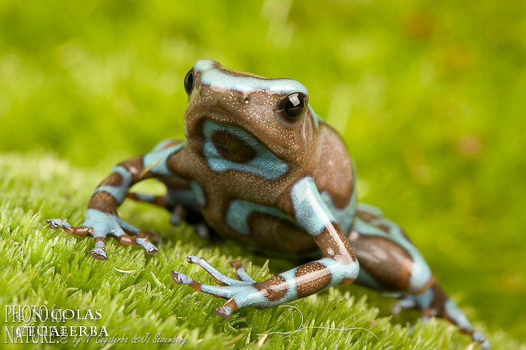 "GREEN POISON FROG ""BIRKHAN"" (Dendrobates auratus)"