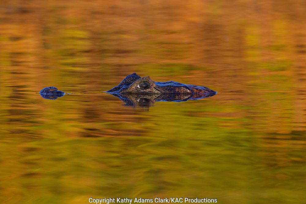 Brazil; Caiman; Caimaninae; Jacare caiman; Mato Grosso; Pantanal; Rio Piquiri, reflection