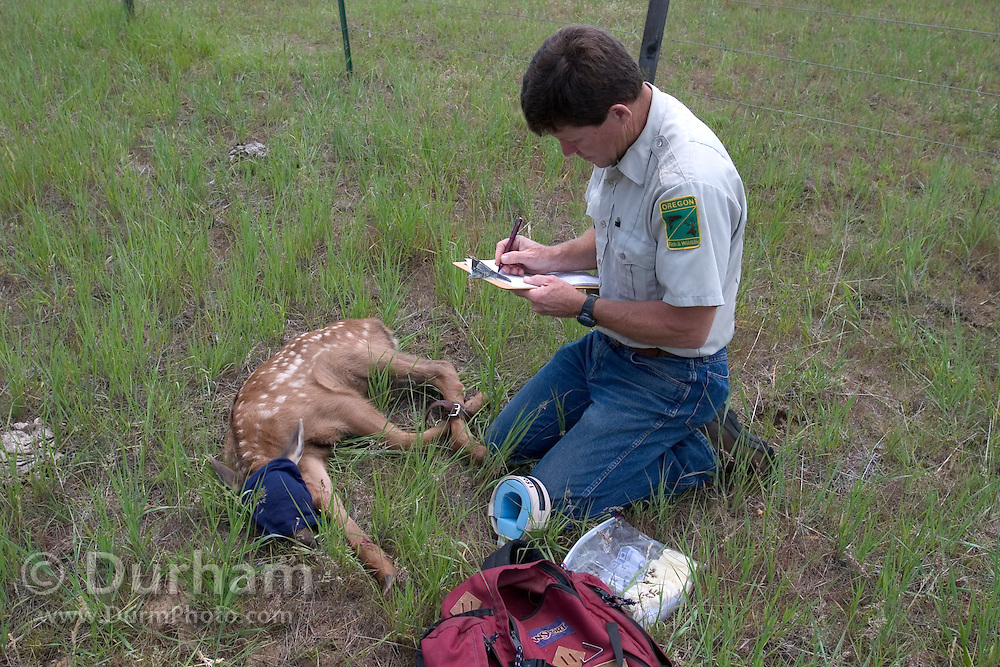 Oregon Division Of Fish And Wildlife biologist Pat Matthews collects data on a three day old elk calf in the Sled Springs Elk Study Area. The calf will be radio collared so that its movements and health may be studied. It is blind folded to help it feel less stress during the process.