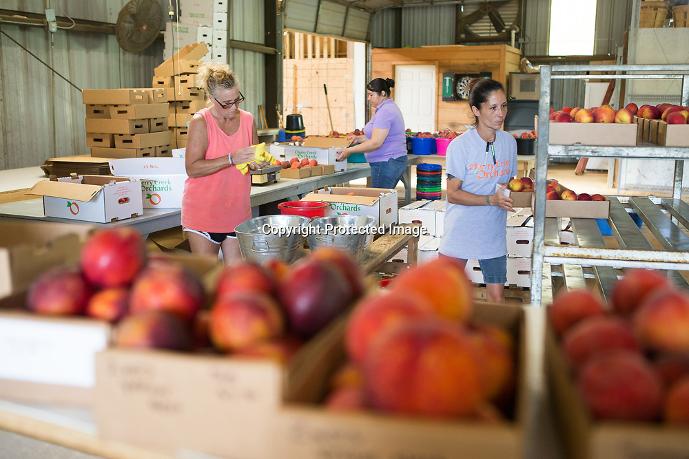 Judy Acevedo, from left, Griselda Nava and Kim Foreman sort, shine and fill boxes of peaches at Cherry Creek Orchard in Pontotoc. The orchard sells their produce at several farmer's markets, including ones in Tupelo, Oxford, Hernando, Grenada, New Albany, Jackson, Memphis, Collierville, Tennessee and even New Orleans.