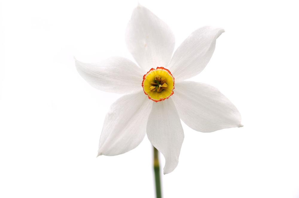 France, Languedoc Roussillon, Lozère (48), Cevennes, fleur de Narcisse des poètes, N.L.: Narcissus poeticus, (Amaryllidacées)