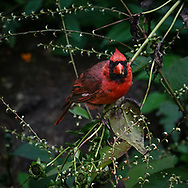 Northern Cardinal in the North Woods of Central Park
