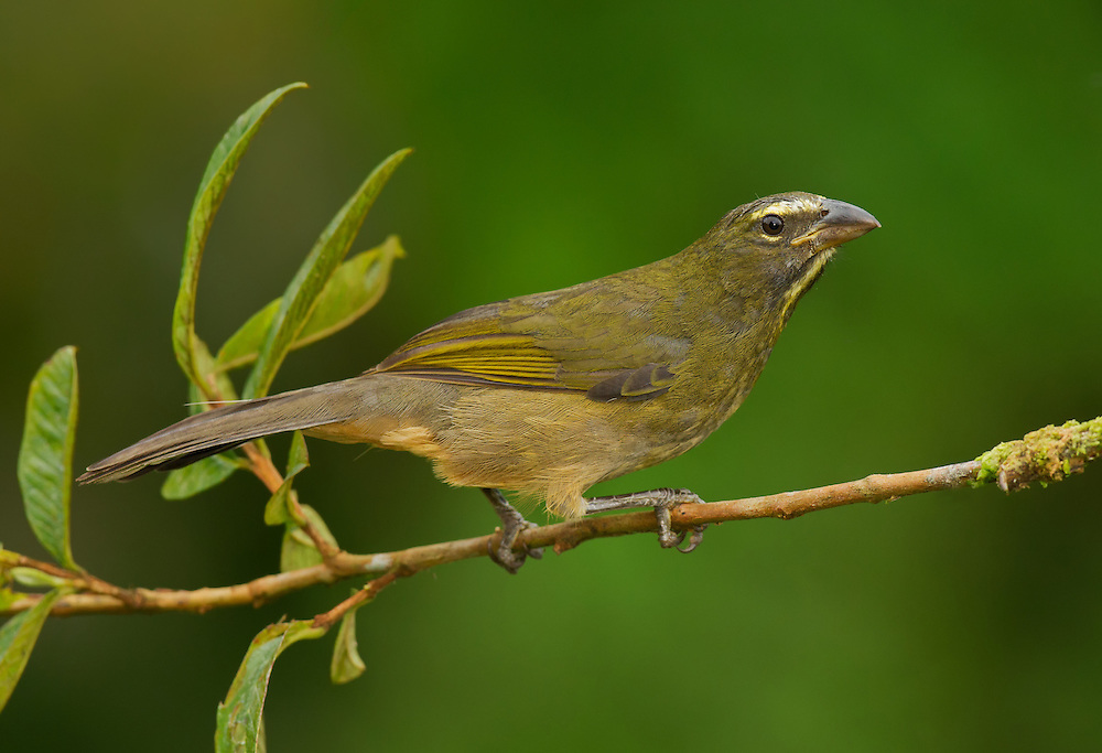 Buff-throated Saltator (Saltator maximus) perched on a branch in a Costa Rica.