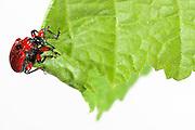 Hazel Leaf-roller Weevil (Apoderus coryli) | Mit ihren sechs gebogenen Klauen an den Füßen krallt sich das Haselblattroller-Weibchen (Apoderus coryli) fest, während es aus einem doppelt gefalteten Haselblatt eine Rolle für die Eiablage formt. Die verdickten oberen Beinsegmente zeugen davon, dass sie körperlich dafür ausgestattet ist, hierbei erhebliche Muskelkraft einzusetzen.