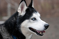 This is Marshall, as Siberian Husky currently available for adoption at the Chemung County Humane Society and SPCA. He is so friendly and approachable. He strutted his stuff around the exercise pen during his photo shoot.