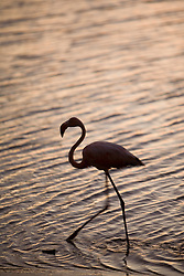 Caribbean, Netherlands Antilles, Bonaire.  Caribbean Flamingo (Phoenicopterus ruber ruber) walking in Gotomeer Lake at sunset.
