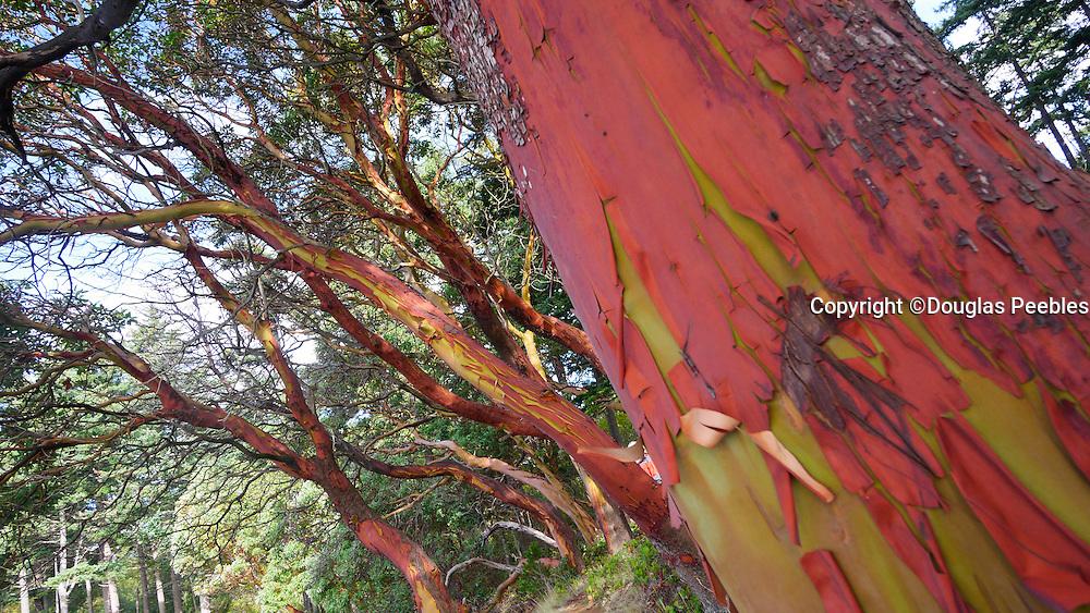Madrona Tree, Clark Island, San Juan Islands, Puget Sound, Washington State