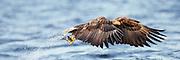 White-tailed Eagle catching a fish. Photoart. Paint effect added | Havørn som fanger en fisk. Fotokunst. Malerieffekt lagt til.