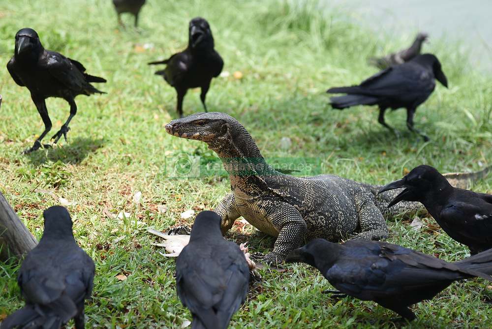 April 18, 2018 - Bangkok, Thailand - Varanus salvator while eat fish on public Lumpini. According to the data in 2018  Varanus salvator the number is increasing it was spread around the marsh in the area  Lumpini Park. (Credit Image: © Vichan Poti/Pacific Press via ZUMA Wire)