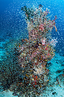 Sweepers swarm a colorful coral head<br /> <br /> Shot in Indonesia