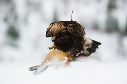 Golden Eagle (Aquila chrysaetos) in Flatanger, Norway