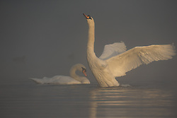 © Licensed to London News Pictures. 26/09/2015. City, UK. Swans at Sunrise on a misty cold Autumn Morning in Richmond Park, London. Photo credit : Ian Schofield/LNP