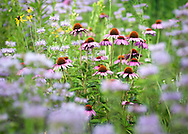Purple coneflowers (Ratibida pinnata) grow among the wild bergamot ( Monarda fistulosa) at Schaar's Bluff Gathering Center in Spring Lake Park Reserve, Hastings MN, on Friday, July 22, 2011. (© 2011 Cindi Christie/Cyanpixel Photography)
