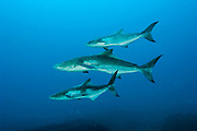 Cobia, rachycentron canadum, swim near a shipwreck offshore Jupiter, Florida, United States