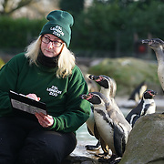 Penguins as part of the stocktake at the London zoo on the 3rd January 2017,UK. Photo by See li/Picture Capital