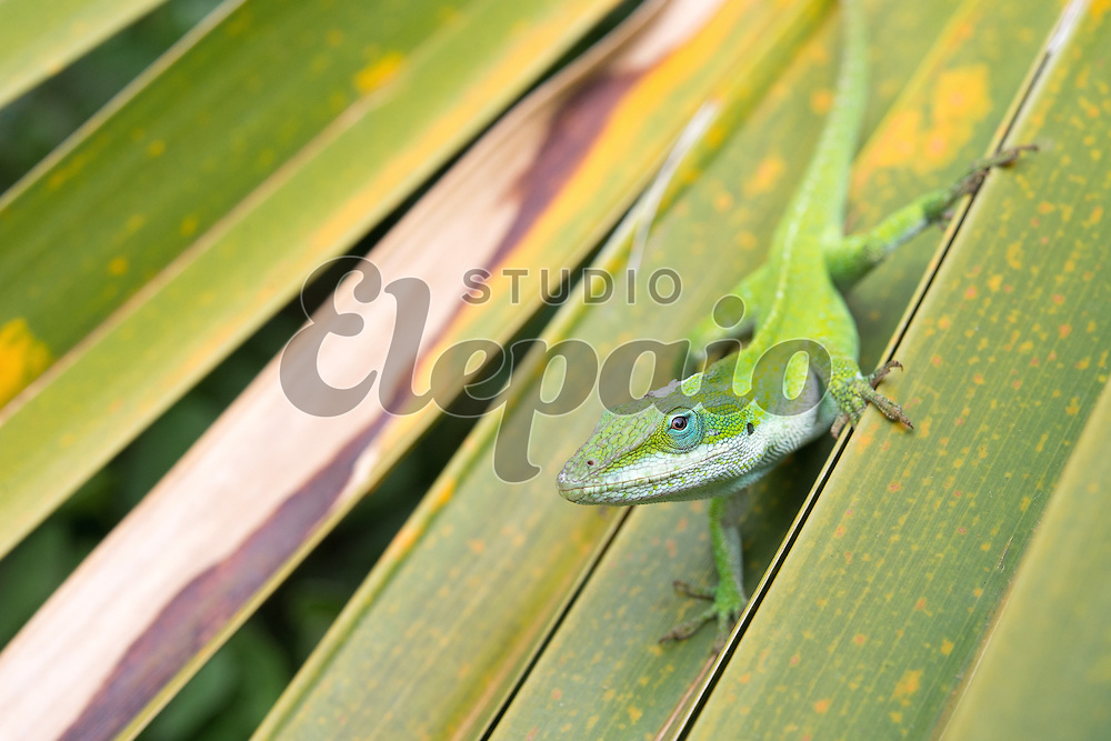 Green anole (Anolis carolinensis). Photographed in Poipu on Kauai, Hawaii.