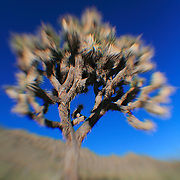 Joshua Tree Bloom - Lensbaby