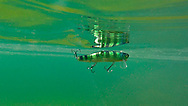 Mikey (perch)<br /> <br /> Engbretson Underwater Photography