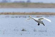 Whooper Swan, Cygnus cygnus, in flight with wings spread wide about to land at Welney Wetland Centre, Norfolk, UK