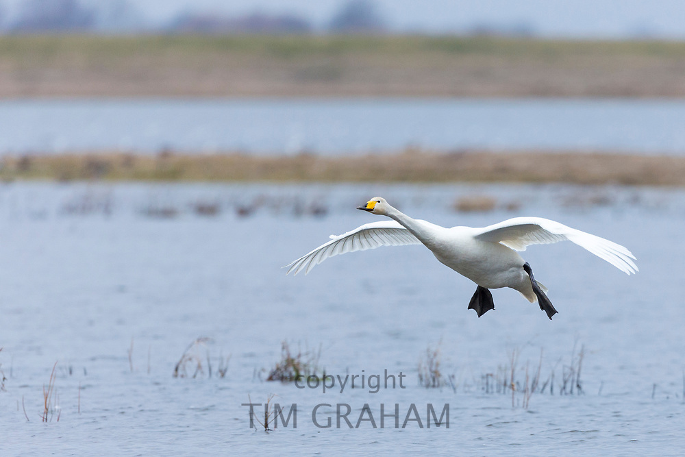 Whooper Swan, Cygnus cygnus, in flight with wings spread wide about to land at Welney Wetland Centre, Norfolk, UK