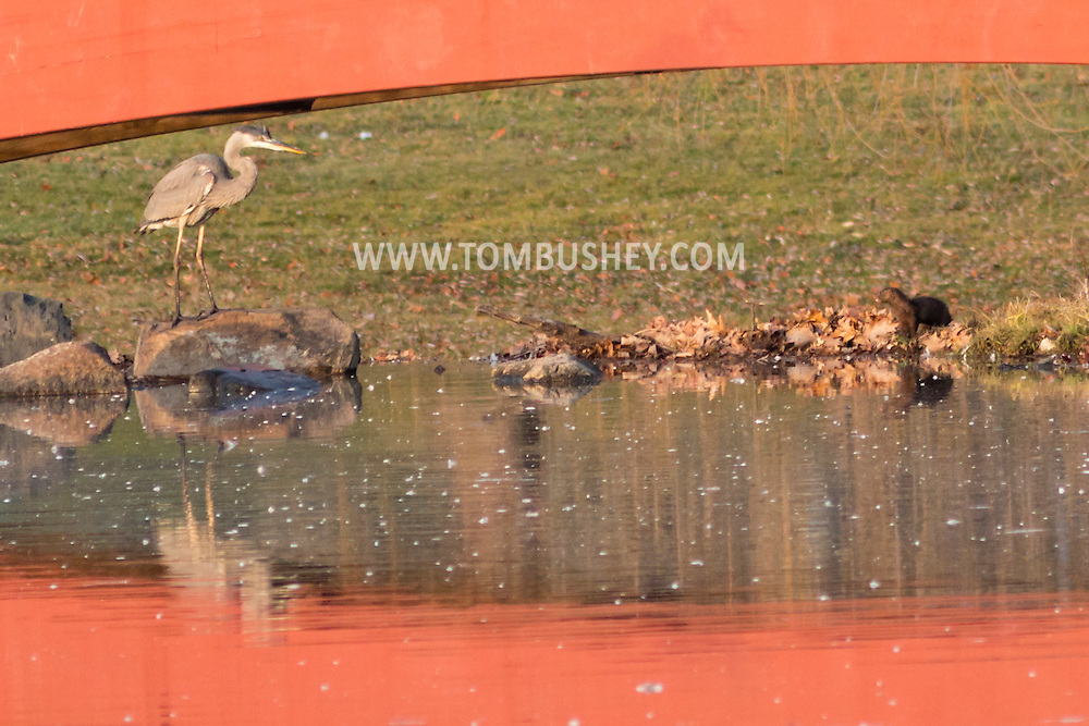 Middletown, New York - A great blue heron hunts for fish in a lake on Dec. 10, 2015.