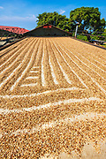 Coffee beans drying in the sun, Kona Coast, The Big Island, Hawaii USA