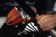 Cortando el cacao para extraer la pulpa y las semillas. Esta mazorca está rellena de una pulpa rosada o blanca viscosa, dulce y comestible, que encierra de 30 a 50 granos de cacao, cuyo sabor natural es amargo pero indispensables para la elaboración del chocolate. 2001. (Ramón Lepage / Orinoquiaphoto)  Cutting the cocoa to extract the flesh and the seeds. The cocoa cob is stuffed of a pink or white viscous, sweet and eatable flesh, which has from 30 to 50 cocoa beans, indispensable for the elaboration of the chocolat. 2001. (Ramon Lepage / Orinoquiaphoto)