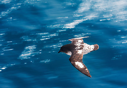 Cape petrel (Daption capense) in sub-Antarctic oceans south of New Zealand