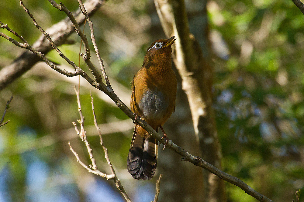 Melodious Laughing-thrush photo Hawaii