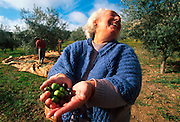 PORTUGAL, ALENTEJO AREA, AGRICULTURE harvesting olives, the men in the background are knocking them off the trees with sticks