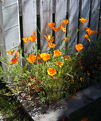 Orange poppies flowering against an old picket fence.