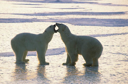 Polar Bear, (Ursus maritimus) Pair of adults playing together as sun set. Churchill, Manitoba. Canada.