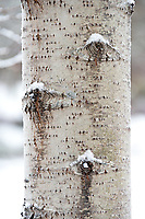 Snow accumulating on branch scars on a Paper Birch trunk, Northeast Harbor, Maine.