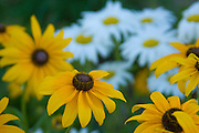 Daisies in a roadside garden, Coeur D Alene, Idaho . PLEASE CONTACT US FOR DIGITAL DOWNLOAD AND PRICING.